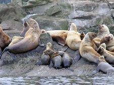 Stellar Sea Lion Pups 1 Stock Image
