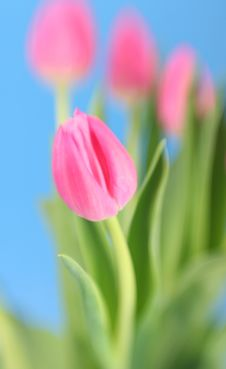 Free Tulips Stock Photography - 4278902