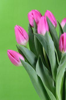 Free Spring Tulips Stock Photo - 4278930