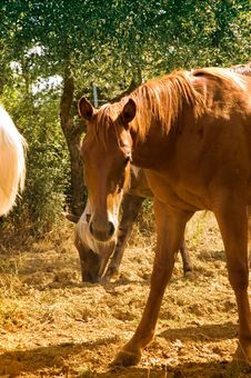 Free Grazing Horse Royalty Free Stock Images - 4279189