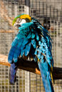 Free Parrot In Cage Royalty Free Stock Image - 4280496