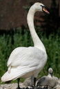 Free Swan Family Royalty Free Stock Image - 4286046