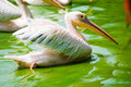 Free Pelicans In Water Royalty Free Stock Photo - 4288285