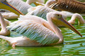 Free Pelicans In Water Royalty Free Stock Photography - 4288337