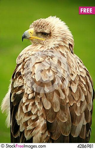 Free Majestic Eagle Stock Image - 4286981