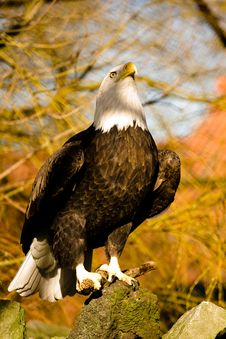Free American Eagle Stock Photography - 4280582