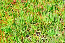Free Portugal, Algarve, Sagres: Flora Royalty Free Stock Images - 4280759