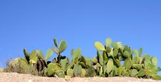 Free Cactus Royalty Free Stock Photos - 4281108