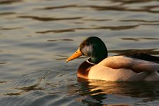 Common Duck On Lake Stock Photography