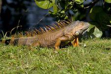 Free Green Iguana Sunning Himself Royalty Free Stock Images - 4282749