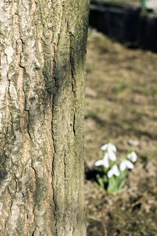 Free Tree With Snowdrop Stock Photography - 4282922