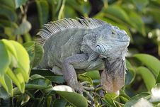Free Green Iguana Sunning In The Tree Stock Photography - 4282962