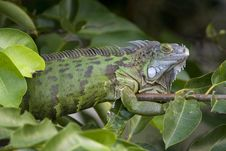 Free Green Iguana Sunning On A Branch Royalty Free Stock Photos - 4282968