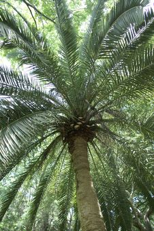 Free Looking Up Palm Tree Royalty Free Stock Photography - 4283257