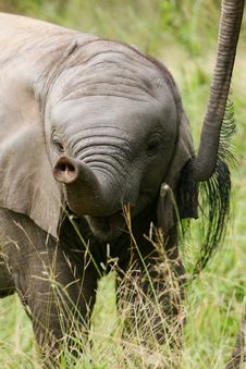 Free African Elephants Royalty Free Stock Images - 4284879