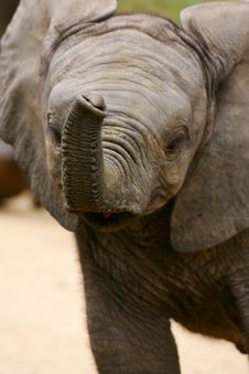 Free African Elephants Royalty Free Stock Photography - 4284917