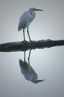 Free Great Egret Stock Images - 4285444