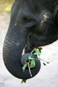 Free Asian Elephant Stock Photo - 4285570