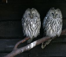 Free Owl Stock Photo - 4286170