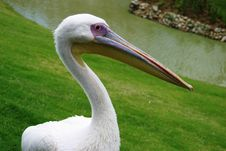 Free White Pelican Stock Photography - 4286292