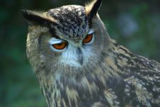 Free Spotted Eagle Owl Stock Photo - 4286540