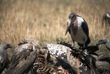 Maribou Stork And Vultures Royalty Free Stock Images
