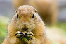Free Cute Prairie Dog Stock Image - 4286691