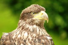 Free Juvenile Bald Eagle Royalty Free Stock Photo - 4286755