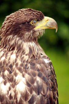 Free Juvenile Bald Eagle Royalty Free Stock Photography - 4286797