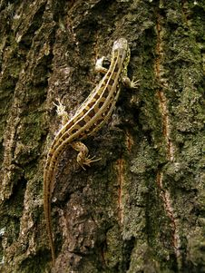 Free Lizard On The Tree Royalty Free Stock Images - 4286859