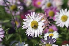 Free Flowers And Bee Royalty Free Stock Photography - 4287017