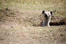 Free Spotted Hyena Stock Photo - 4287300