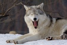 Free Wolf On Snow Royalty Free Stock Photo - 4287725