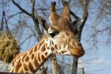 Free Giraffe Stock Photography - 4287832