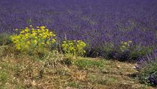 Yellow Flowers And Lavender Royalty Free Stock Image