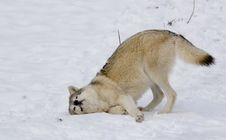 Free Wolf On Snow Royalty Free Stock Image - 4288256