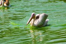 Free Pelican In Water Royalty Free Stock Photography - 4288287