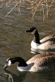 Free Geese Royalty Free Stock Images - 4288299