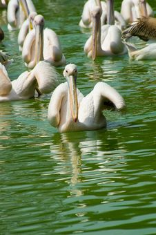 Free Pelicans In Water Royalty Free Stock Photo - 4288315