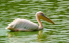 Free Pelican In Water Royalty Free Stock Image - 4288316