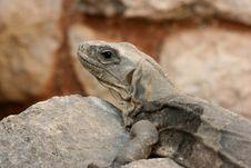 Large Lizard (Ctenosaura Similis) Royalty Free Stock Photo