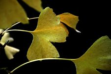 Free Ginkgo Leaves Royalty Free Stock Image - 4289906