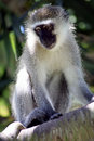 Free Vervet Monkey Stock Photo - 4296340