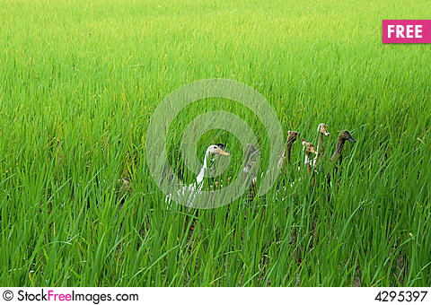 Free Paddy Duck Royalty Free Stock Photography - 4295397