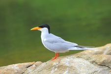 Free River Tern Royalty Free Stock Photos - 4290008