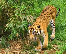 Free Tiger Stock Photography - 4290132