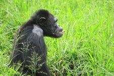 Free Chimpanzee Royalty Free Stock Photography - 4290147