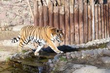 Free Tiger Stock Photo - 4290220