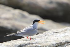 Free River Tern Stock Photo - 4290670