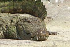 Free Crocodile Stock Images - 4290704